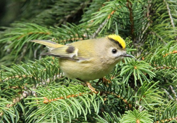 Golden_Crowned Kinglet (9)