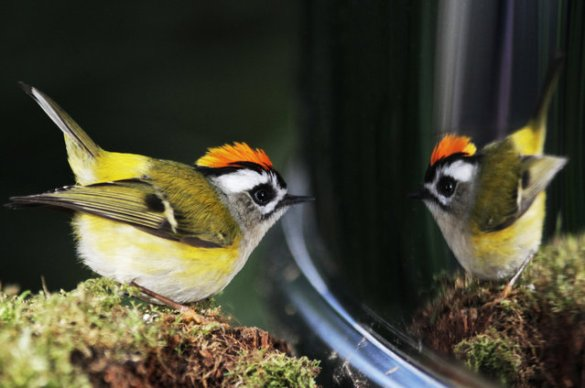 Golden_Crowned Kinglet