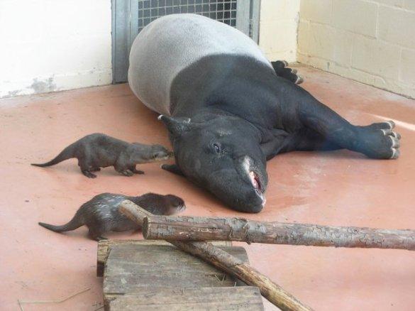 Tapirs (1)