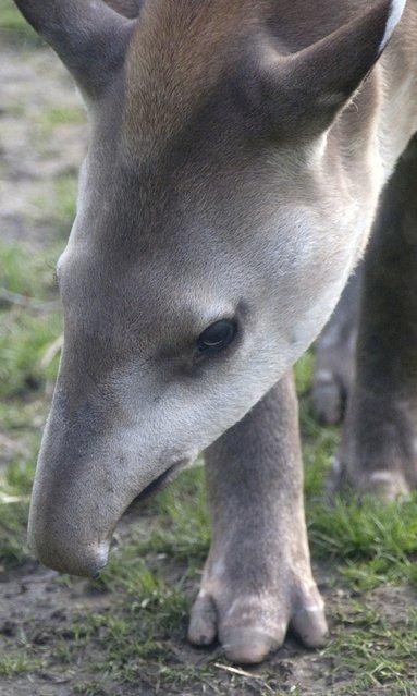 Tapirs (11)