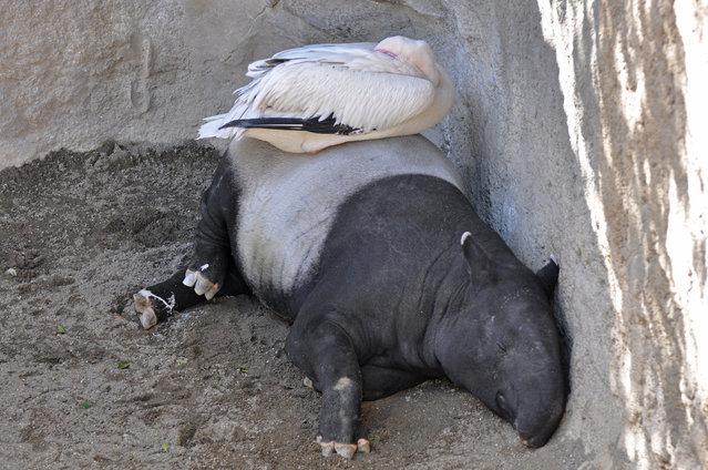 Tapirs (14)