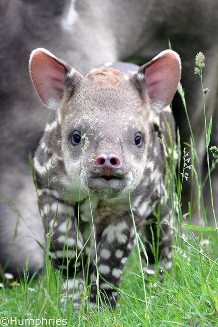Tapirs (15)