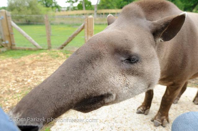 Tapirs (19)