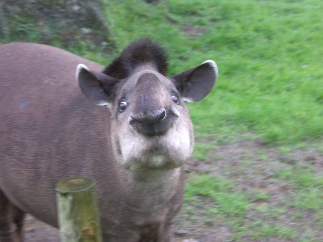 Tapirs (2)