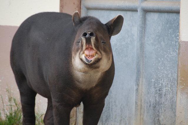 Tapirs (20)