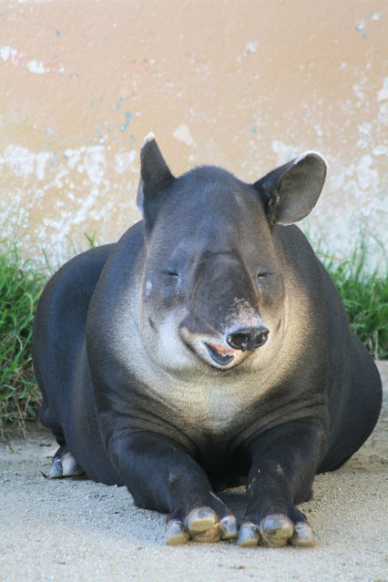 Tapirs (21)