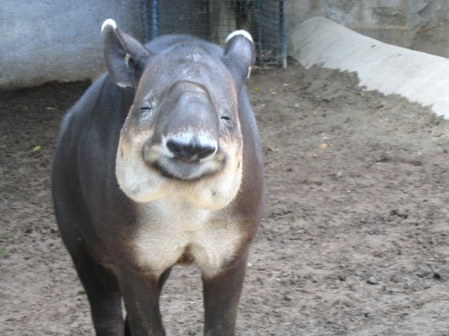Earth Our Home Too : Tapirs