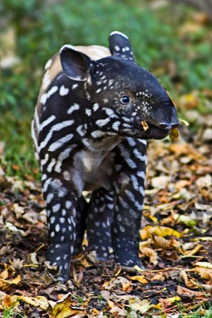 Tapirs (4)