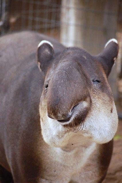 Tapirs (8)