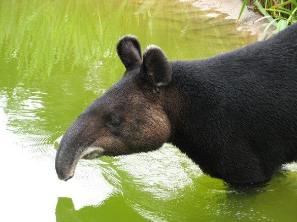 Tapirs (9)