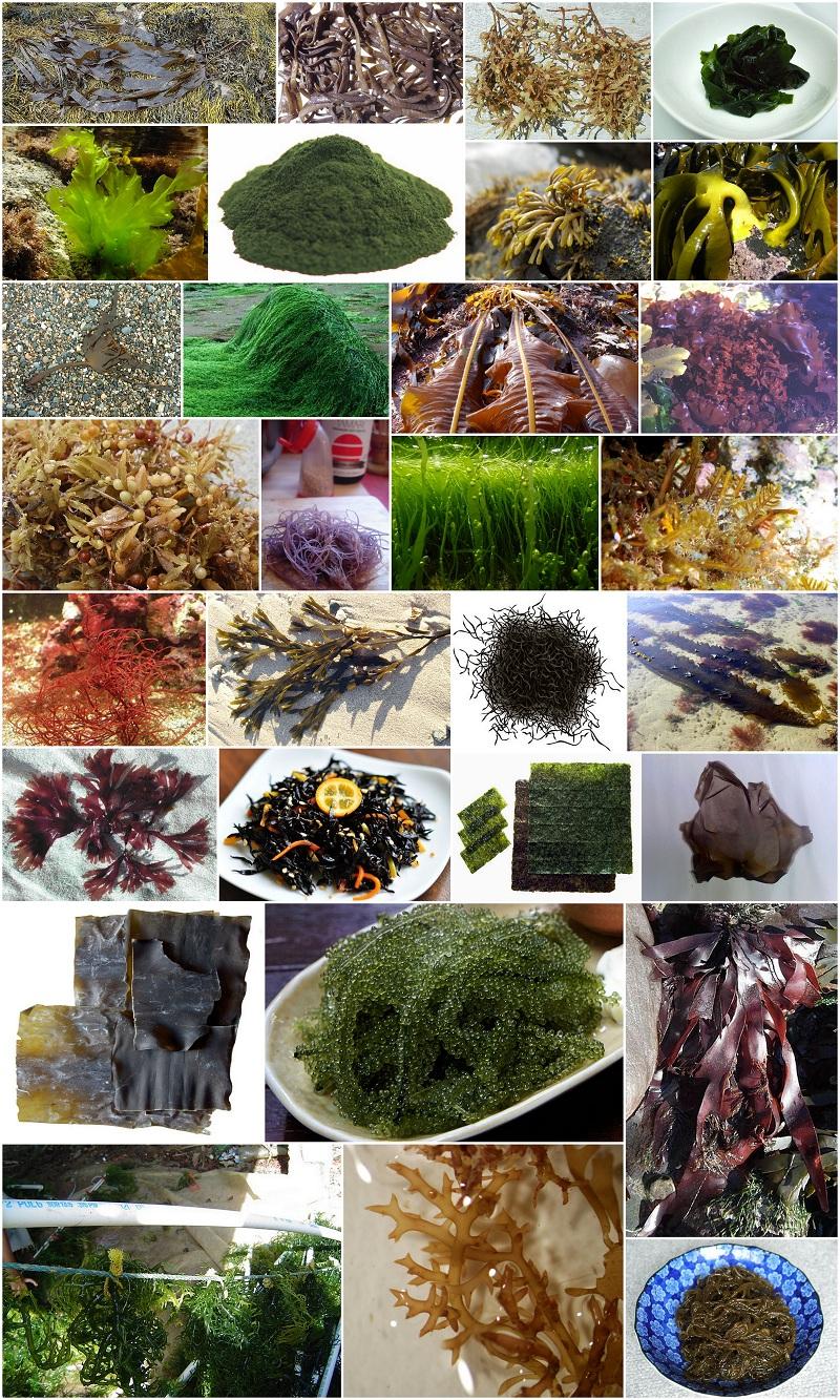 Food We Eat : List of Edible Seaweeds