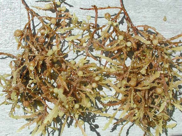 Sargassum_weeds_closeup