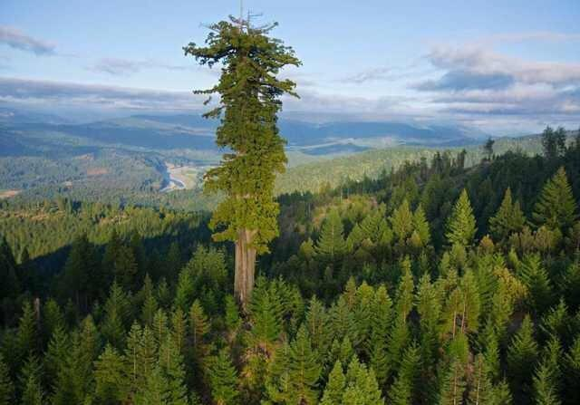 Know : The Tallest : Tree – Hyperion